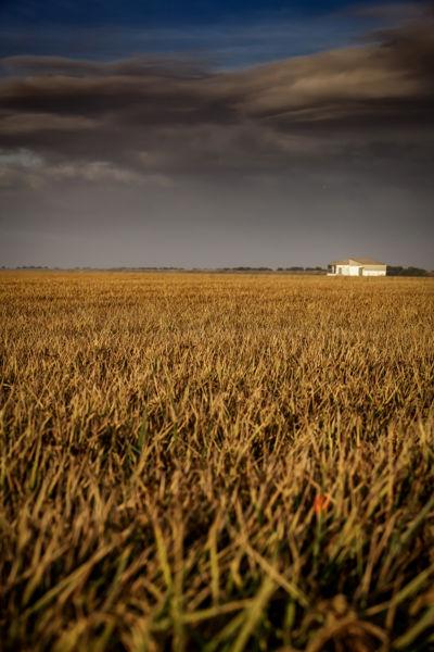 amacer entre arrozales