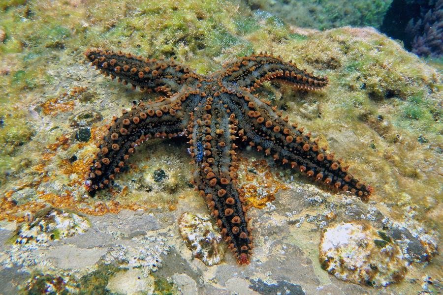 Estrella de Mar común