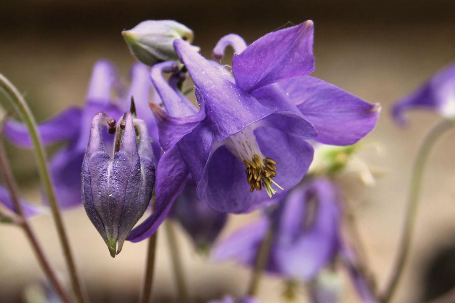 Flor de Cazorla