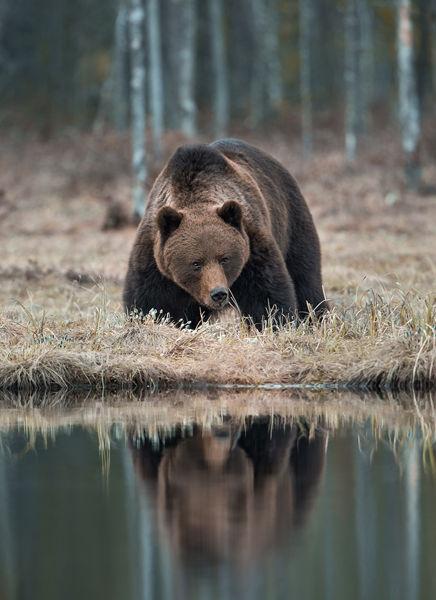 Oso en la Naturaleza de Finlandia