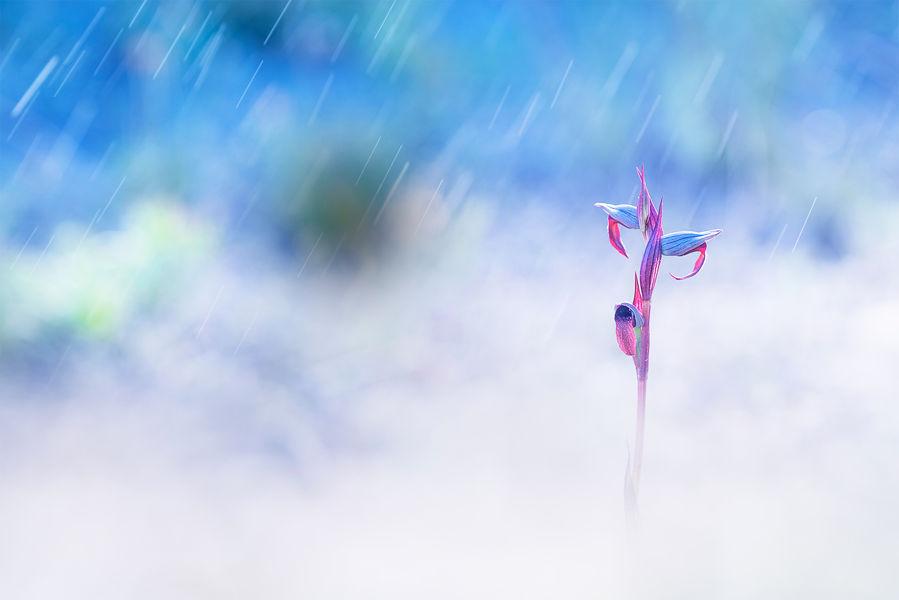 Serapias bajo la lluvia