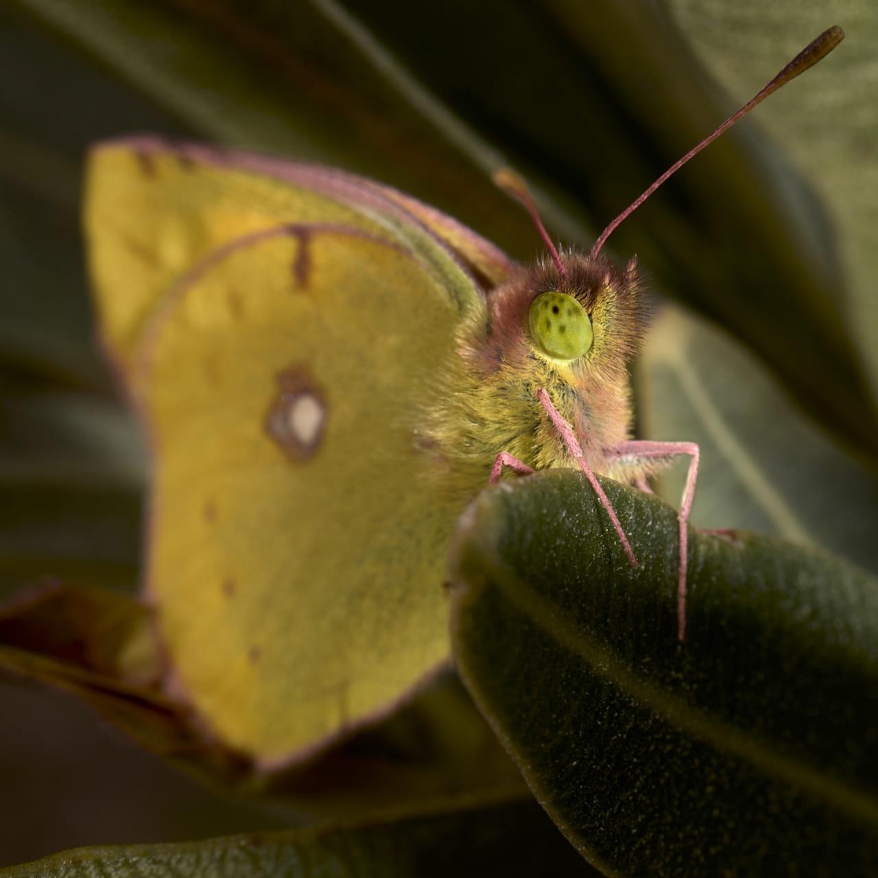Retrato de una mariposa Colia