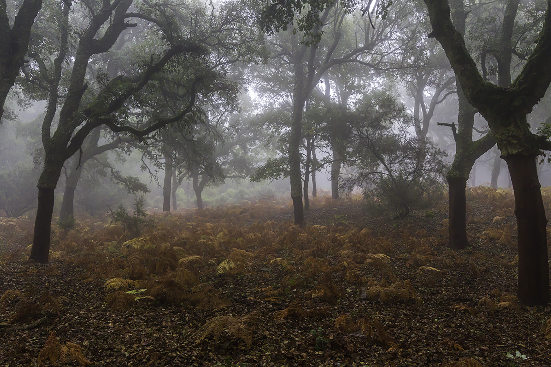 Dia de niebla en el alcornocal.