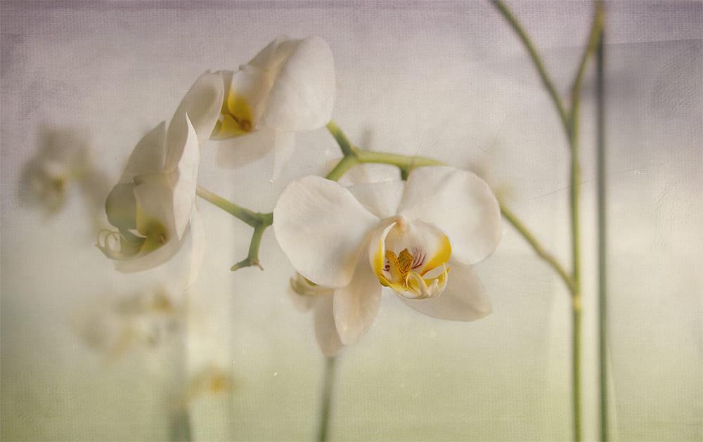 Campo de orquídeas