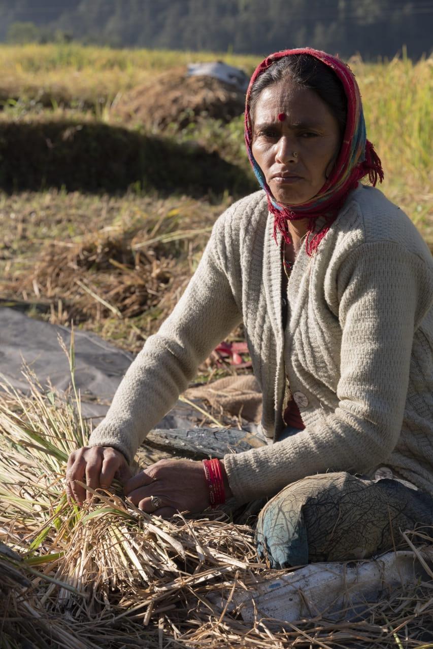 cosechando arroz