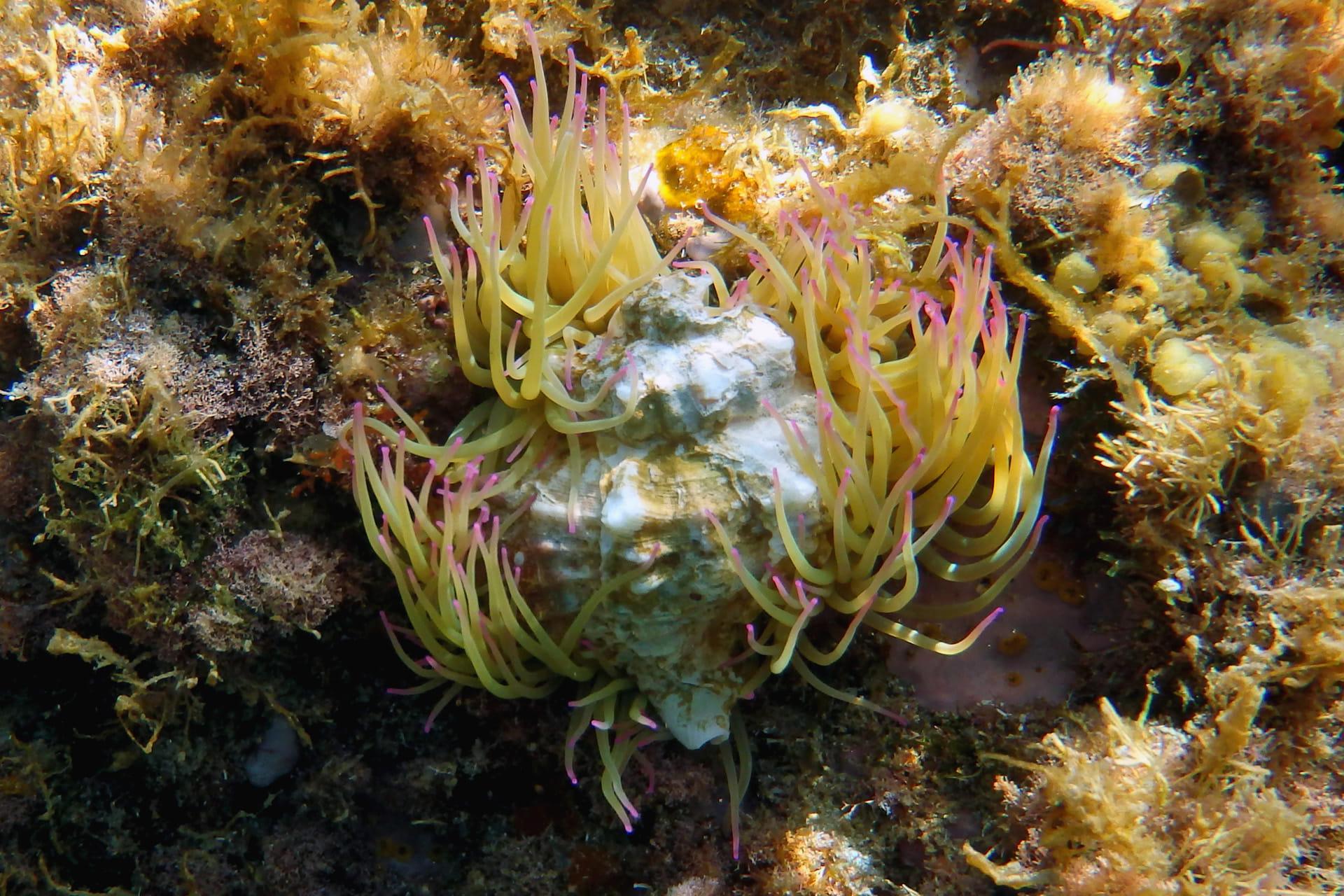 Concha con ortiguillas de mar