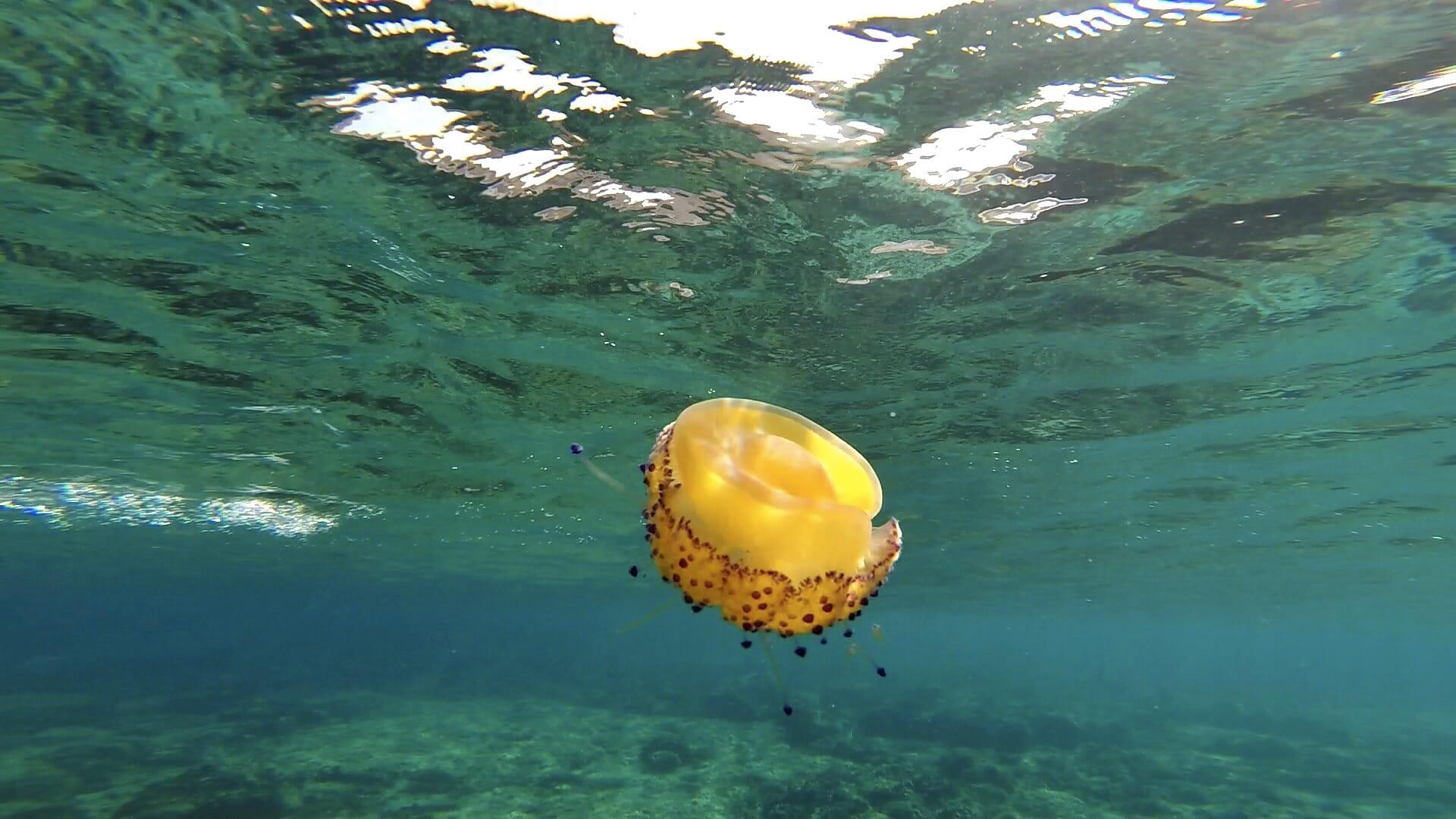 Medusa huevo