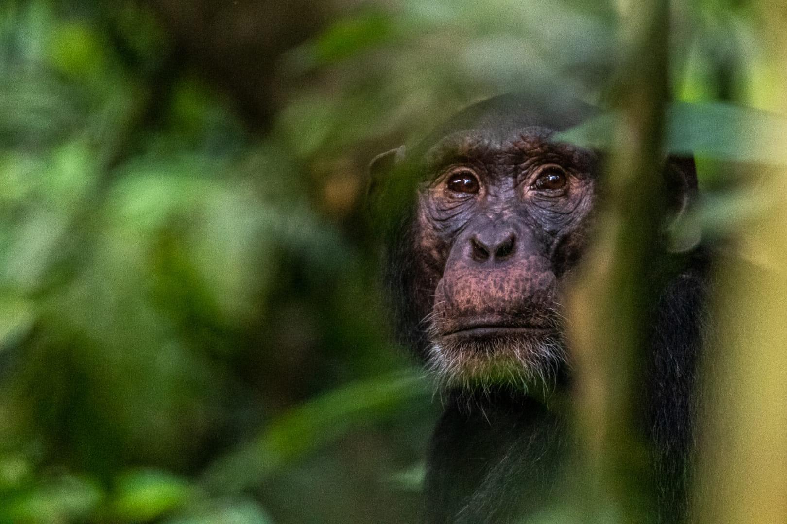 Los ojos tristes del chimpancé