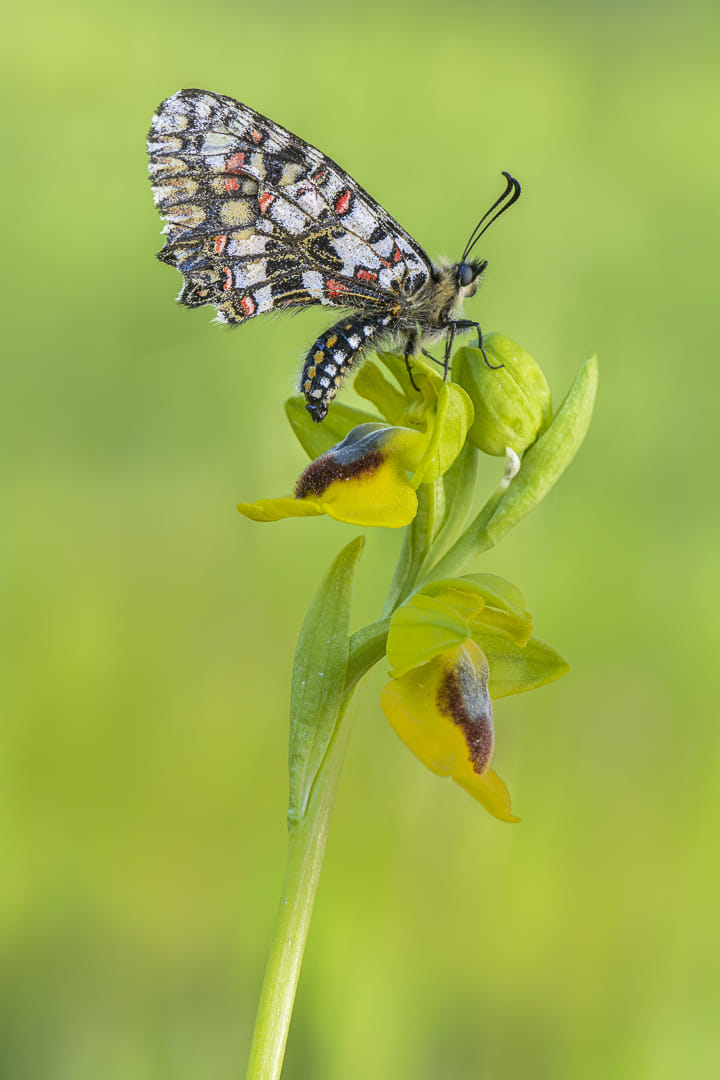 Zerynthia rumina sobr ophrys lutea