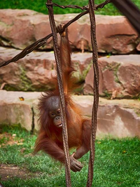 El rey simio.