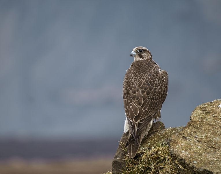 Halcon Galifante en las montañas de Islandia