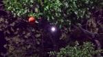 Conjunción a la sombra de un naranjo