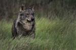 El lobo ibérico