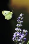 Al vuelo de la mariposa