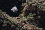 Almendro en flor entre espartales. Gorafe. Granada