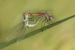Sympetrum fonscolombii MMXVIII