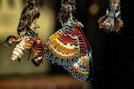 Eclosión de Mariposa