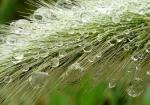 Racimo de perlas de lluvia