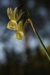Narcissus Triandrus subs. pallidulus