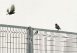 Pájaros En La Valla