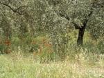 Color en los olivos. Andalucía