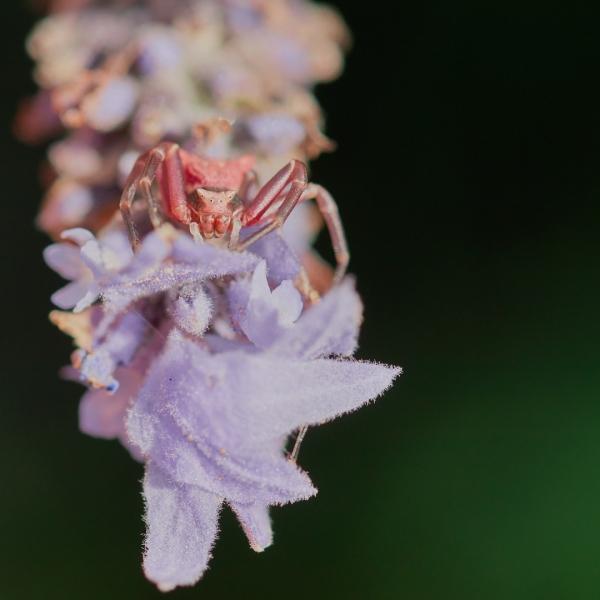 Thomisus en flor de Lavanda