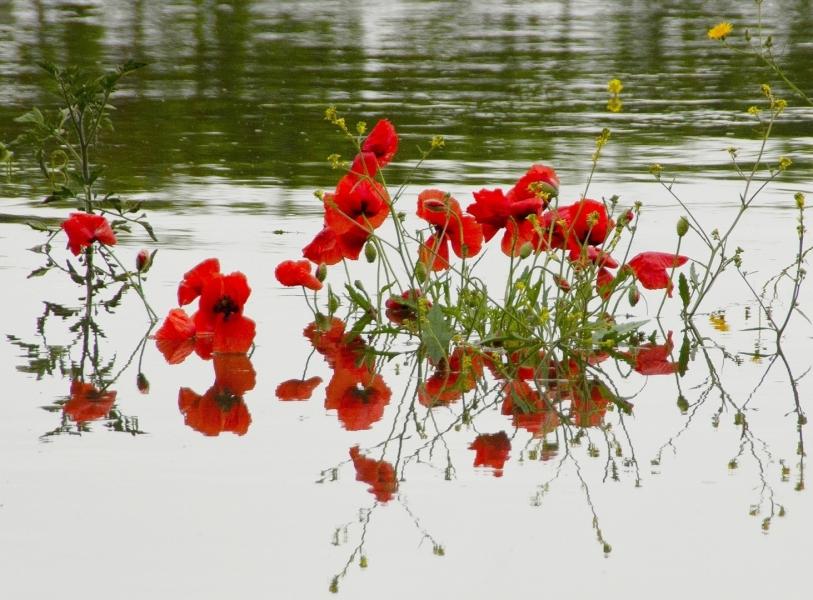 Amapolas en el rio inundado