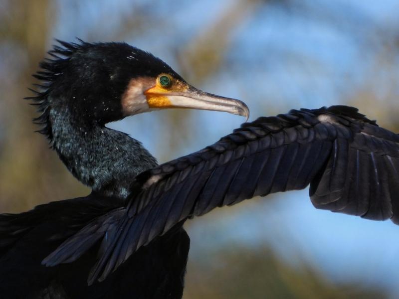 Cormoran grande