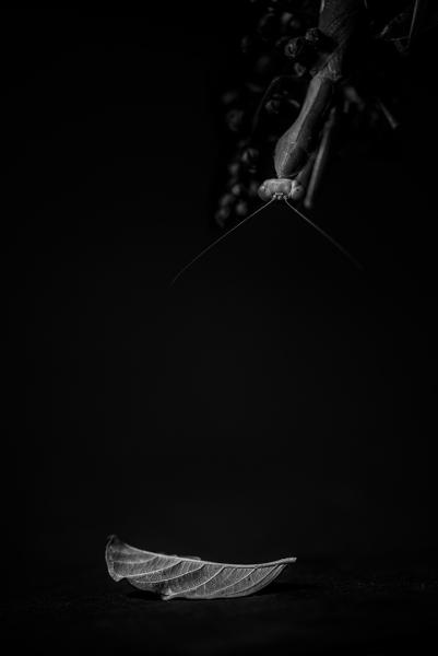 La mantis y la hoja