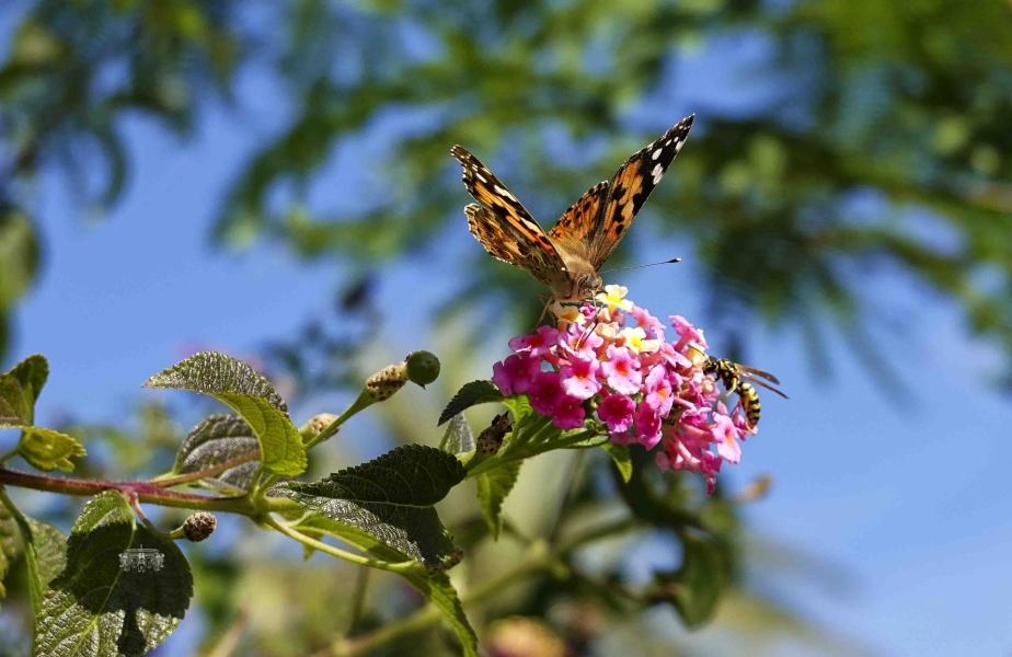 Mariposa y Avispa Comiendo